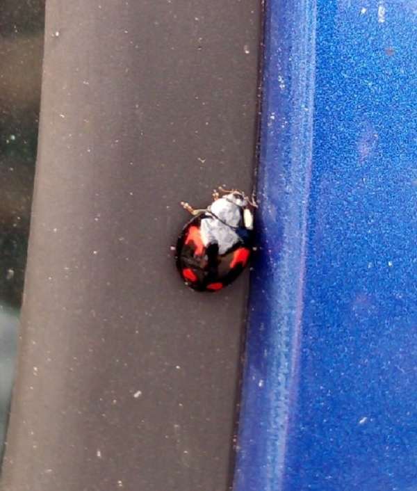 Beetle on Blue Car by Superfrenchie