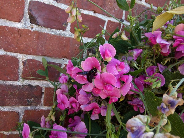 Carpenter Bee Involved with Sweetpea Flowers by Superfrenchie