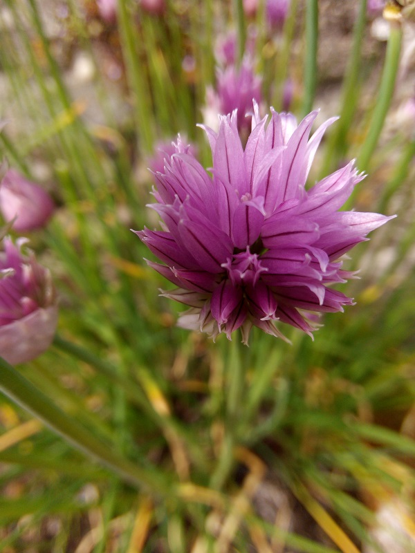 Chives by Superfrenchie