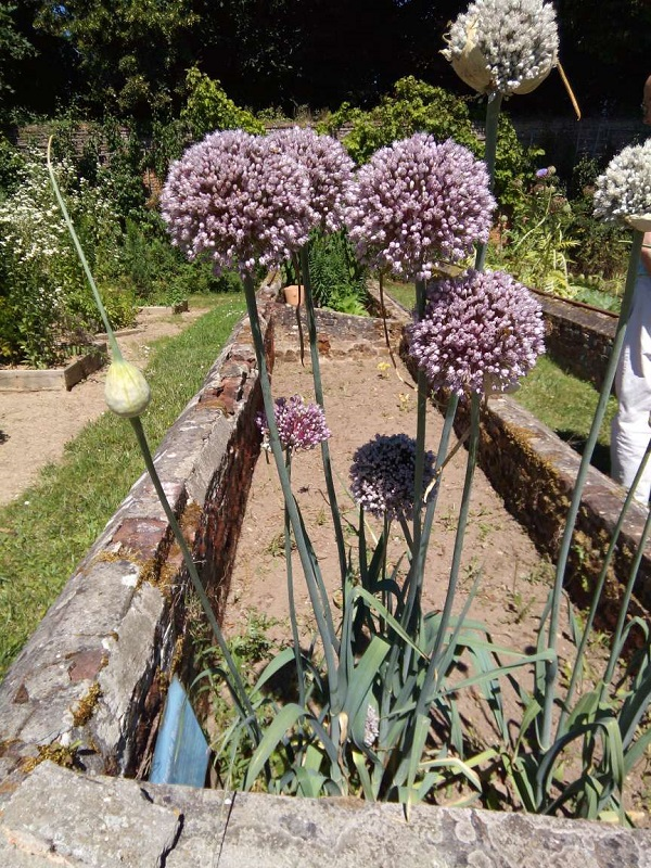 Bees pollinating some flowers, possibly allium. By Superfrenchie