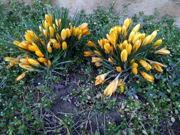French crocuses by Superfrenchie
