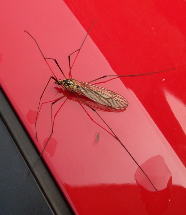 Strange insect on a French car which is bright red, by Superfrenchie.