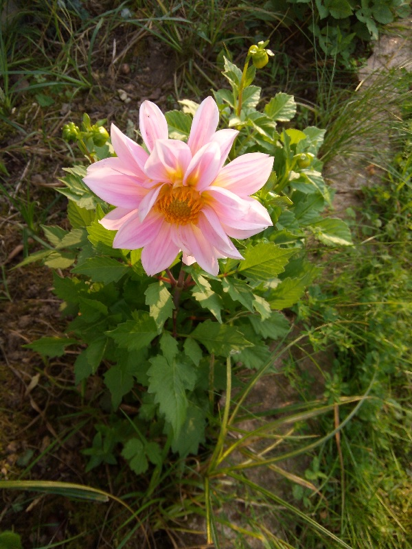 The dahlias Superfrenchie has been waiting for so long have bloomed. They are pink.