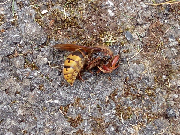 Dead Hornet by Superfrenchie