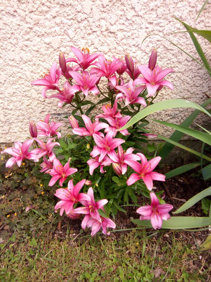 Lilies from France by  Superfrenchie