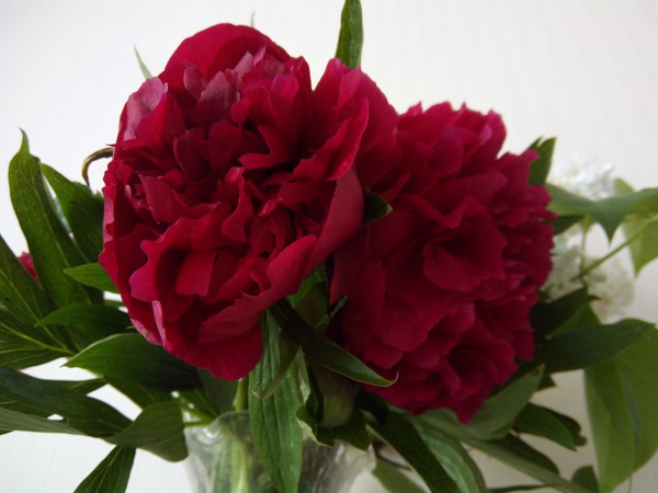 French Peonies, by Superfrenchie.