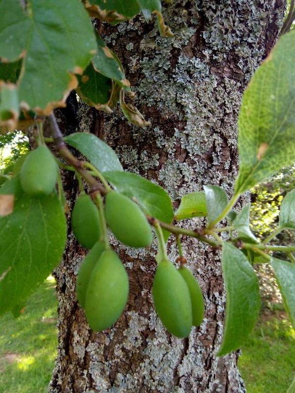 Green Plums in Spring by Superfrenchie.