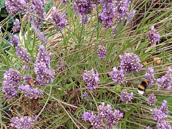 Lavender with bees pollinating by Superfrenchie