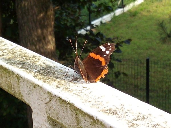 A red admiral butterfly in Superfrenchie's garden.