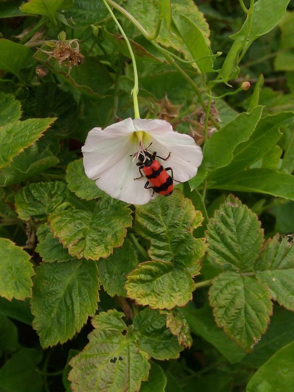 Unknown Bug on Flower by Superfrenchie