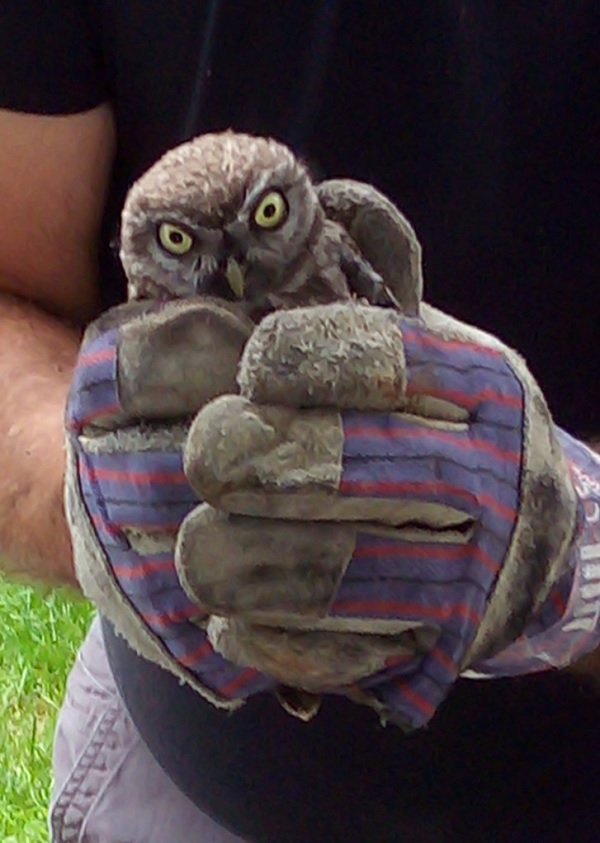 The little owl rescued from Superfrenchie's chimney in France.