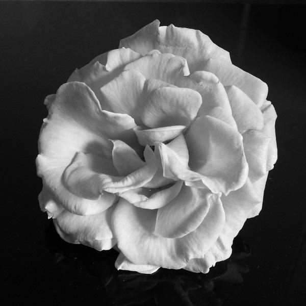 Rose by SashaQ