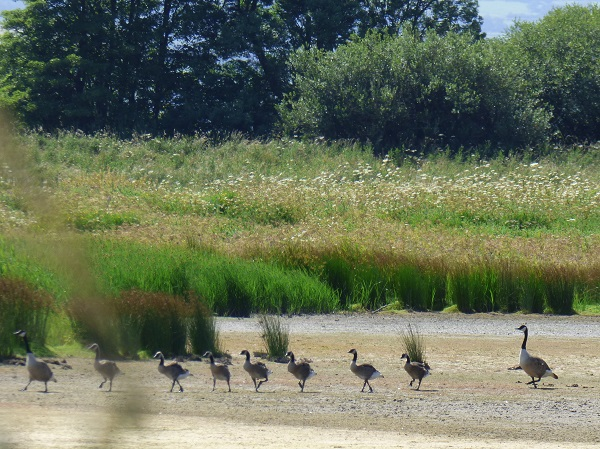 Geese Walking in a Line by SashaQ