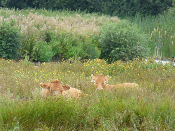 The Cows of Burton Mere by SashaQ