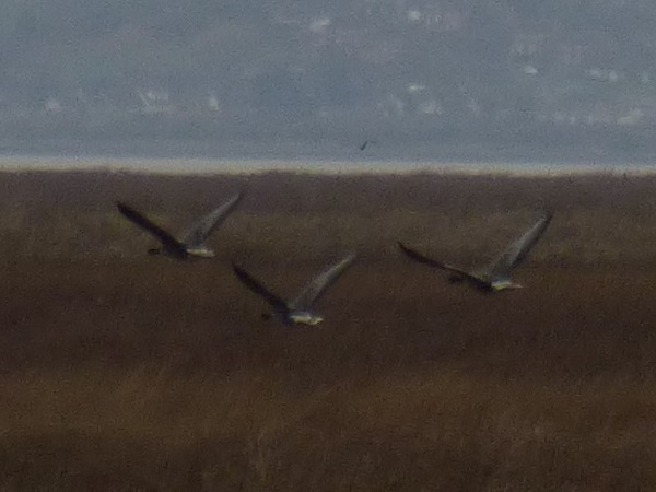 Geese in Formation, by SashaQ