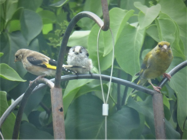 Goldfinch, longtailed tit, and greenfinch, by SashaQ.