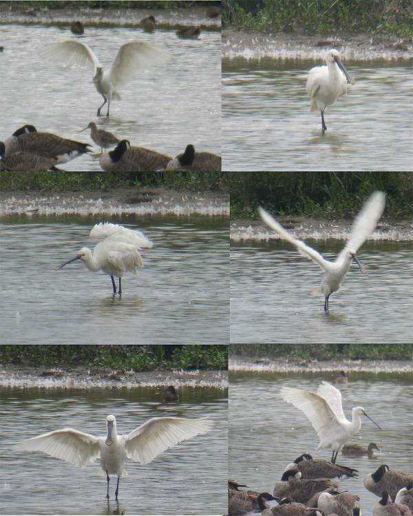 Montage of images of an exuberant spoonbill, by SashaQ.