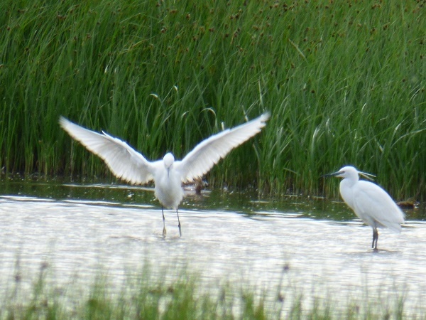Little Egrets, one with wings outstretched