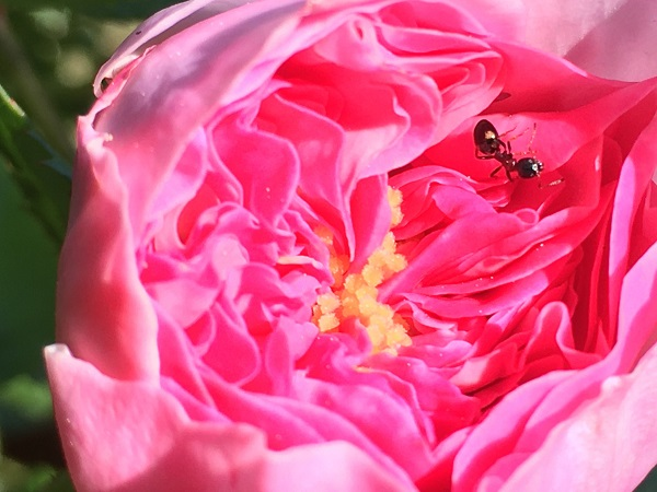 Ant in a Rose by Tavaron