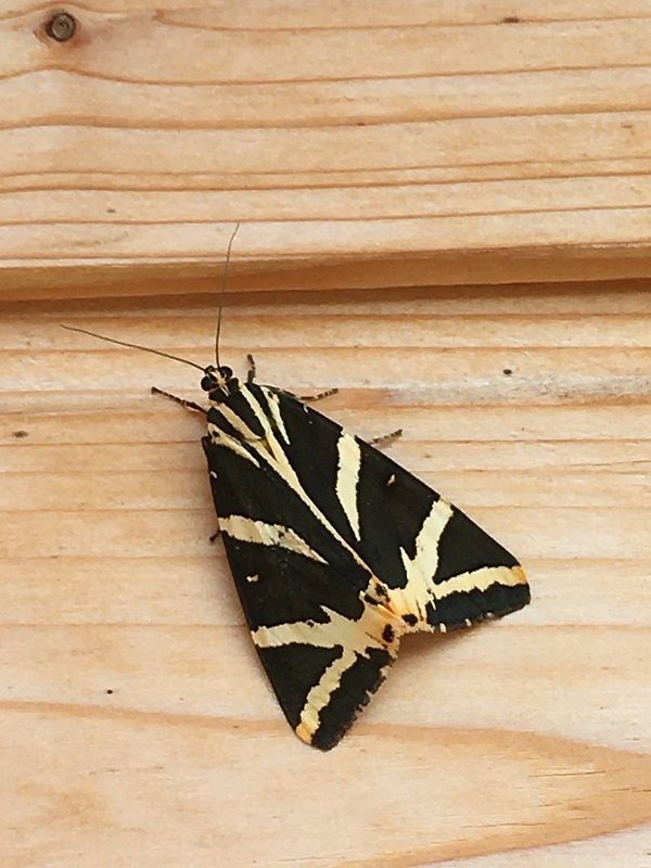 A Jersey Tiger moth, by Tavaron. It's black with yellow stripes and long, long antennae, and we're pretty sure we know what it's called, which makes us feel terribly smug.
