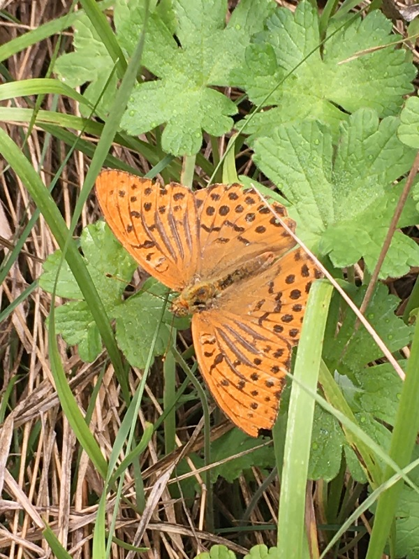 A gorgeous orange butterfly with grey spot markings and a few grey lines, too.'