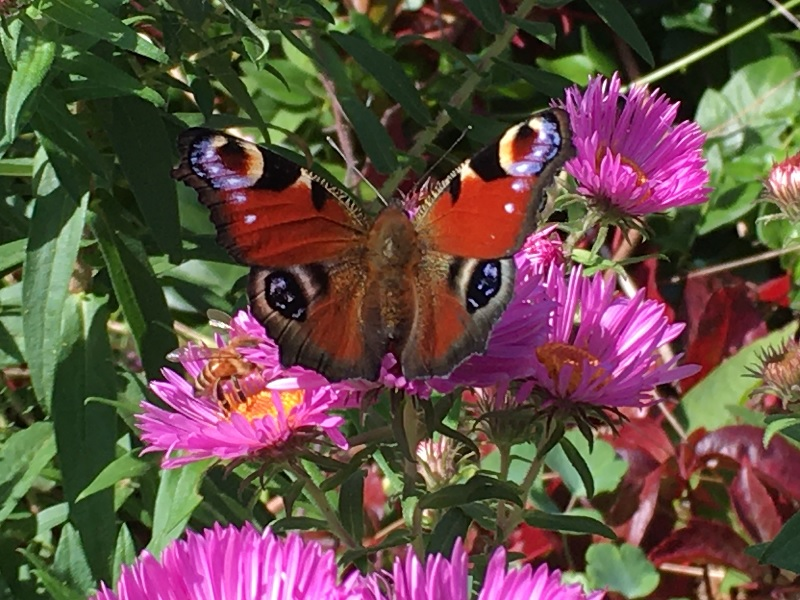 A European Peacock Butterfly spreading its wings over Tavaron's asters, a gorgeous sight.