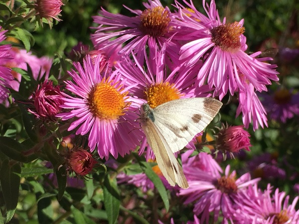 Cabbage White butterfly by Tavaron.