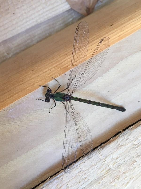 Dragonfly by Tavaron