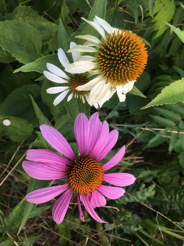 A white and a pink echinacea, by Tavaron.