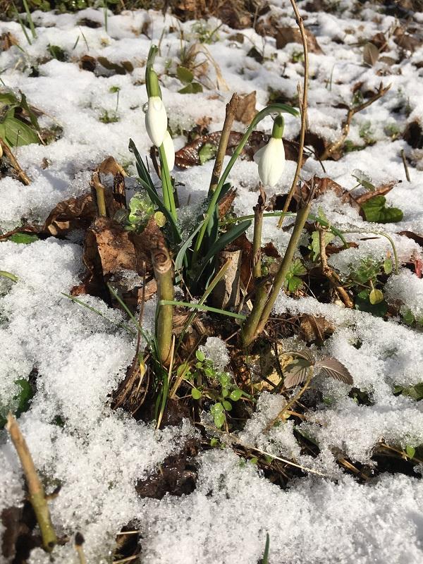 Snowdrops in Snow bY Tavaron