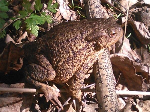 A picturesque toad in an Austrian garden.