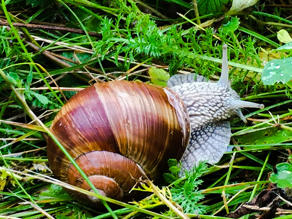 A snail with a burnished bronze-coloured shell, by Tavaron.