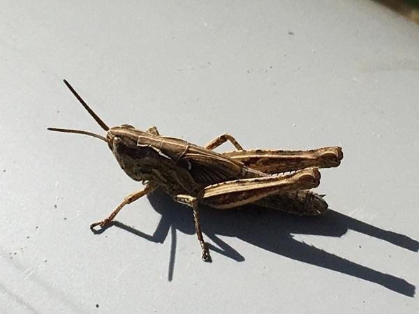 Grasshopper by Tavaron
