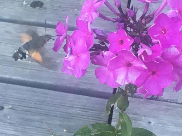 Hummingbird Hawk Moth near some flowers, by Tavaron