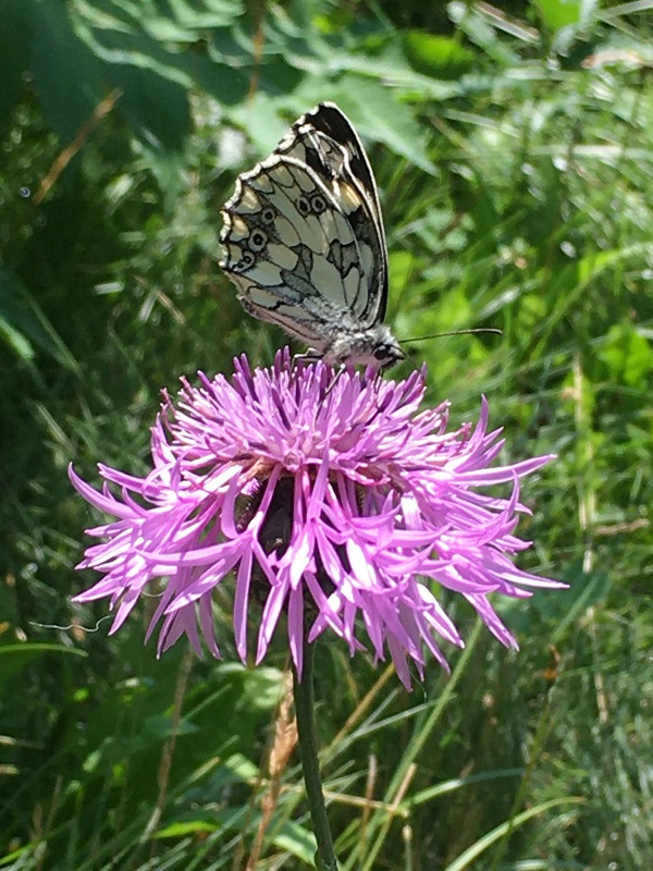Marbled White Butterfly by Tavaron