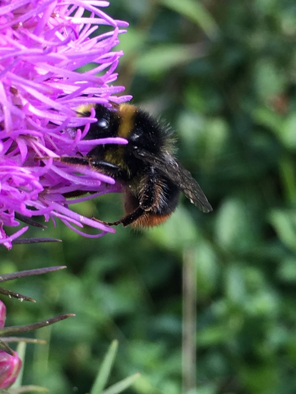 A very large and fuzzy (and cute) bumblebee on a thistle flower (pink) in Tavaron's garden.