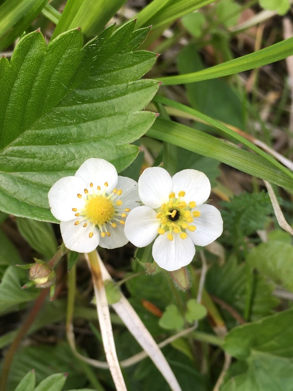 Wild Strawberry Blossoms, by Tavaron.