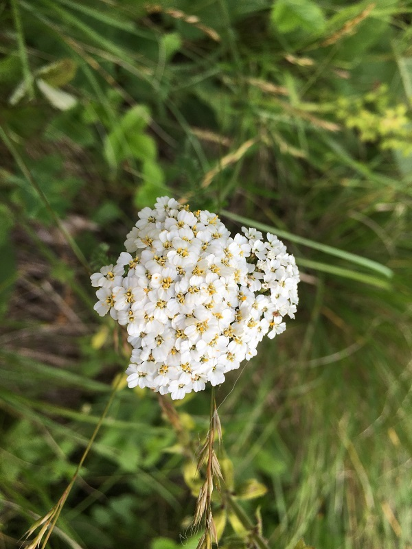 Yarrow by Tavaron