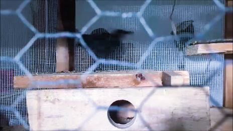 A blackbird in a cage by Tavaron.