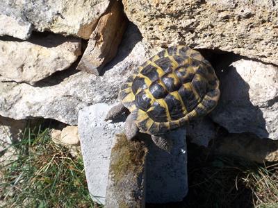 A tortoise climbing a rock