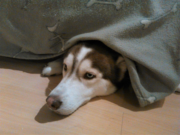 A dog sleeping under his bed, and waiting for scraps to fall.
