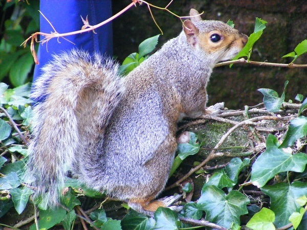 Grey Squirrel by bobstafford