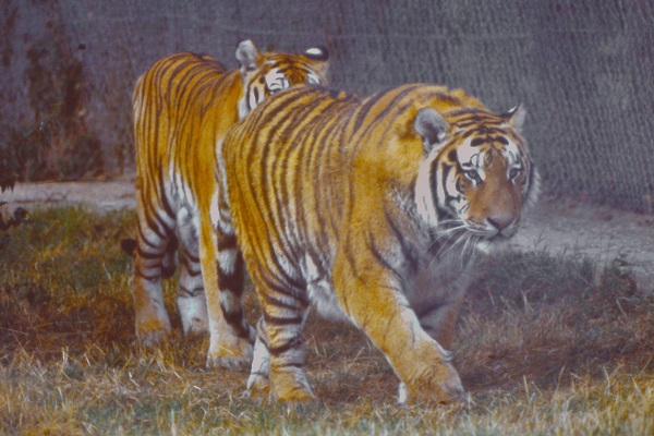 Tigers by bobstafford.