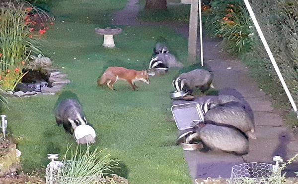 A lot of badgers in Websailor's back yard, with a friendly fox.
