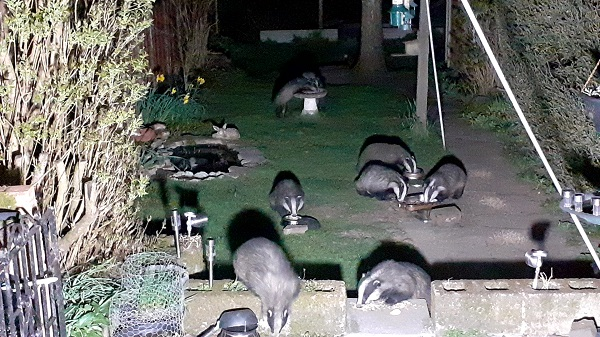 Badgers by Websailor.
