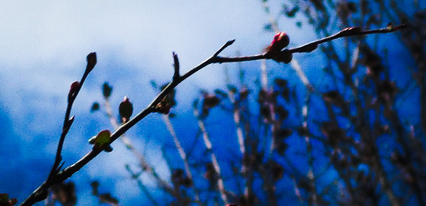 New buds against a blue sky