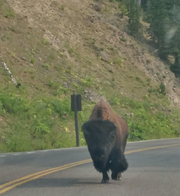 Hitchhiking bison.