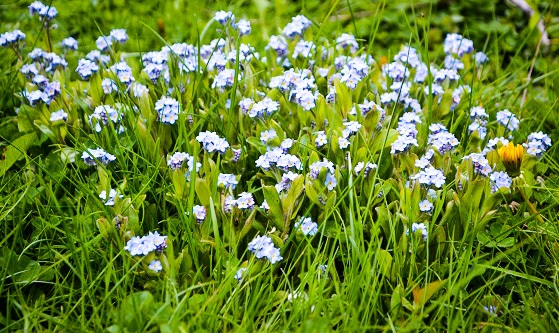 Blue flowers and dandelion in yard.
