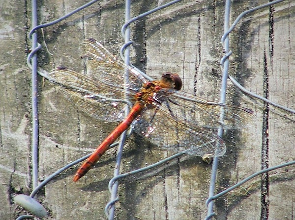 Red Dragonfly by bobstafford