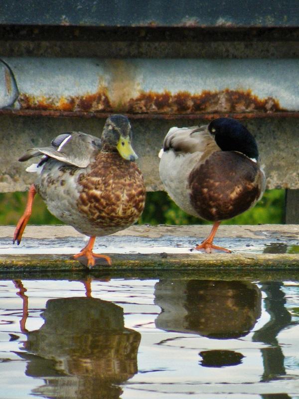 Ducks by bobstafford
